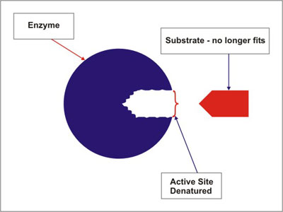 Enzymes - Pass My Exams: Easy exam revision notes for GSCE Biology