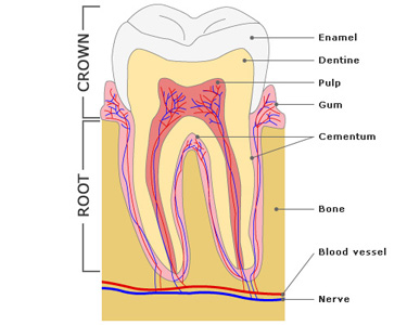 The digestive system pass my exams easy exam revision notes for all teeth have similar features as shown in the diagram below ccuart Image collections
