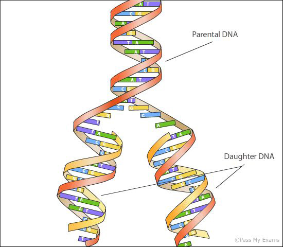 dna replication Watson and crick immediately saw the relationship of the double helix to genetic replication they proposed that each strand of the chromosome serves as a templ.