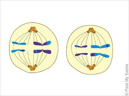 Meiosis cell division animation pass my exams easy exam revision meiosis ccuart Choice Image