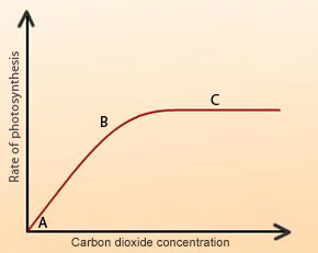 rate of phtosynthesis Does light intensity affect the rate of photosynthesis in elodea plants hypothesis: yes, light intensity does affect the rate of photosynthesis too much light may cause plants to burn out while too little light will not provide enough light for optimal photosynthesis activity.