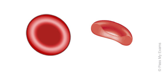 Components of blood cardiovascular system pass my exams easy red blood cells erythrocytes ccuart Image collections