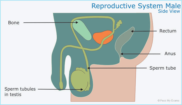 Sexual Reproduction Pass My Exams Easy Exam Revision Notes For