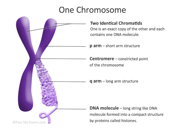 describe the relationship between gene protein dna and chromosome