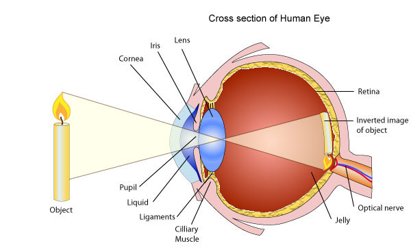 Use of lenses for correcting vision pass my exams easy exam light from an object passes through the cornea which is a transparent dome like structure covering the iris the light rays are refracted by the cornea onto ccuart Choice Image